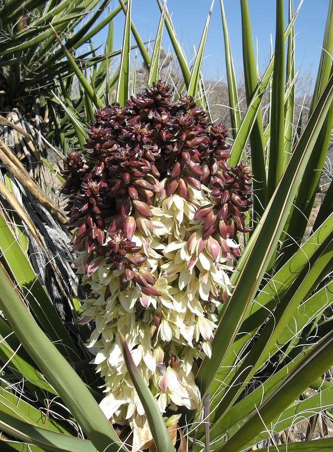 Landscape Photograph - Purple Cactus In Bloom by Joan Taylor-Sullivant