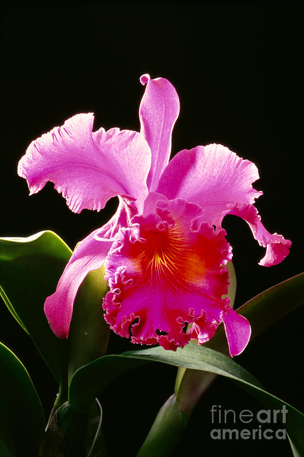 Arrange Photograph - Purple Cattleya by Tomas del Amo - Printscapes