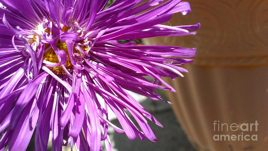 Aster Photograph - Purple Chinese Aster by LKB Art and Photography