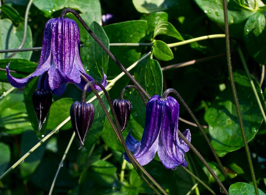 Bells Photograph - Purple Clamatis Bells by Douglas Barnett