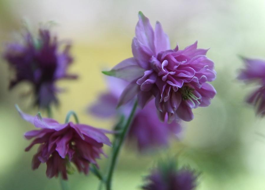 Columbine Flower Photograph - Purple Columbine by  Andrea Lazar
