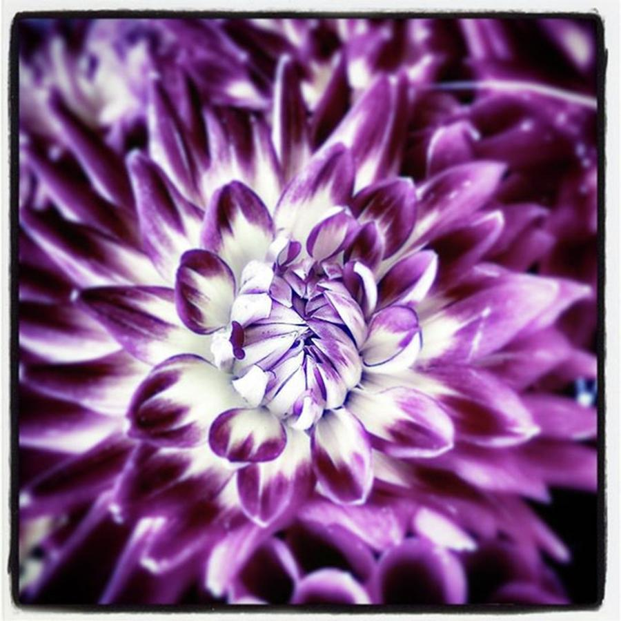 Florists Photograph - Purple Dahlia. A Color Variation Of The by Mr Photojimsf