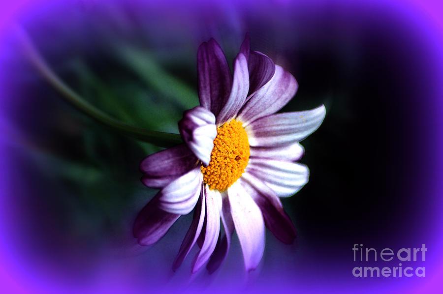 Purple Daisy Flower by Susanne Van Hulst