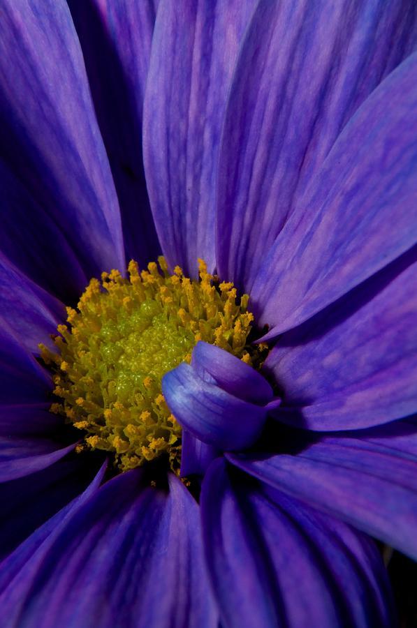Purple Daisy Photograph - Purple Daisy by Susan Heller