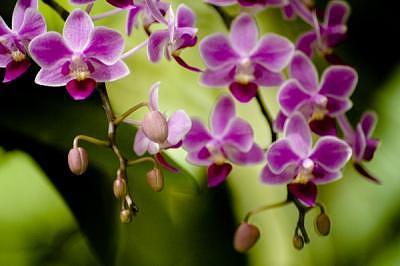 Orchid Photograph - Purple Dangling Orchids by Deborah  DeAmroim