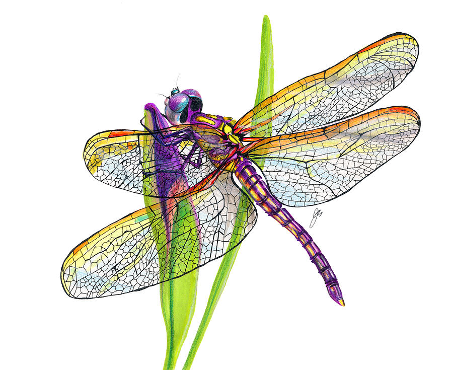 Purple Dragonfly Drawing By Jeannette Sirois