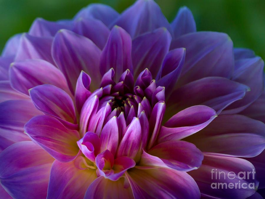 Dahlia Photograph - Purple Dream by Lutz Baar