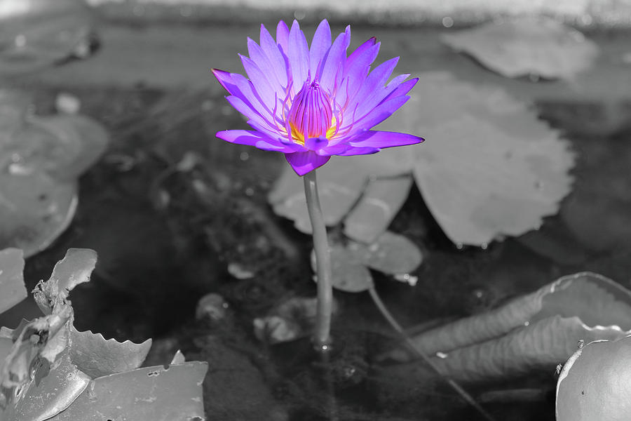 Purple Enlightened Lotus by Samantha Delory
