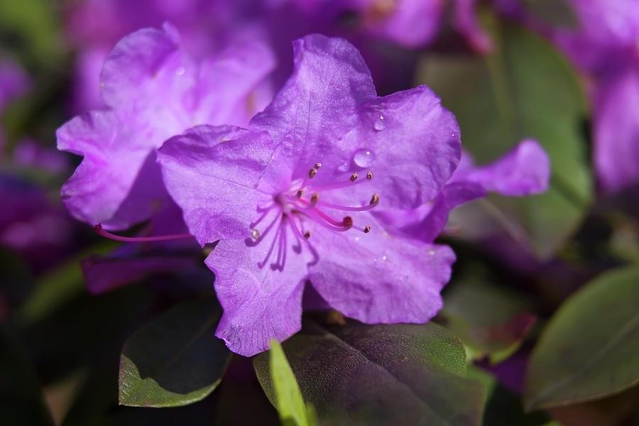 Purple Flower Marco Photograph