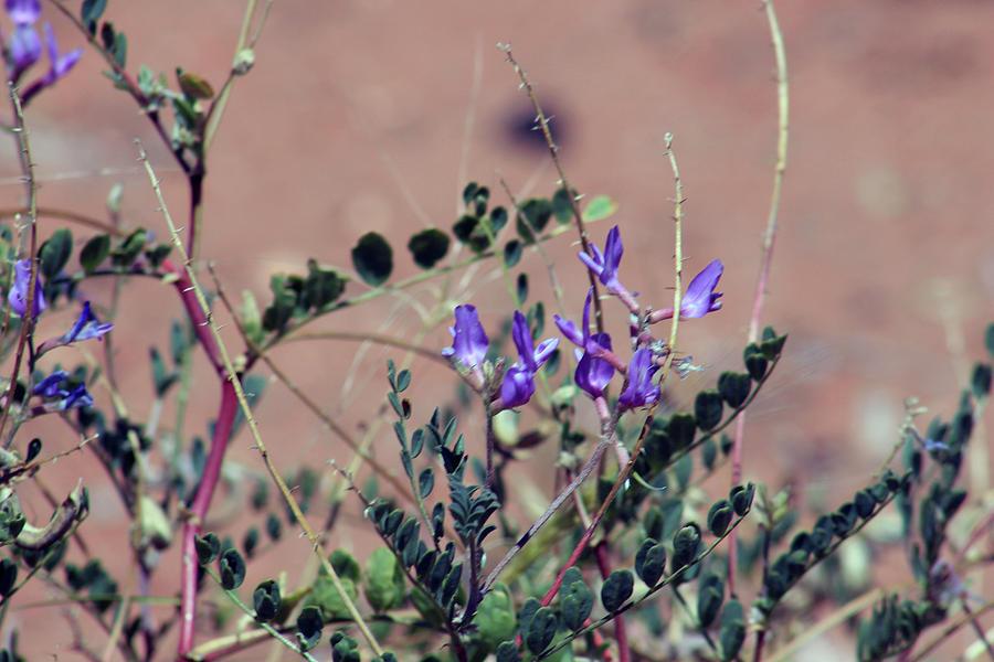 Purple Flowers In The Desert by Jodi Vetter