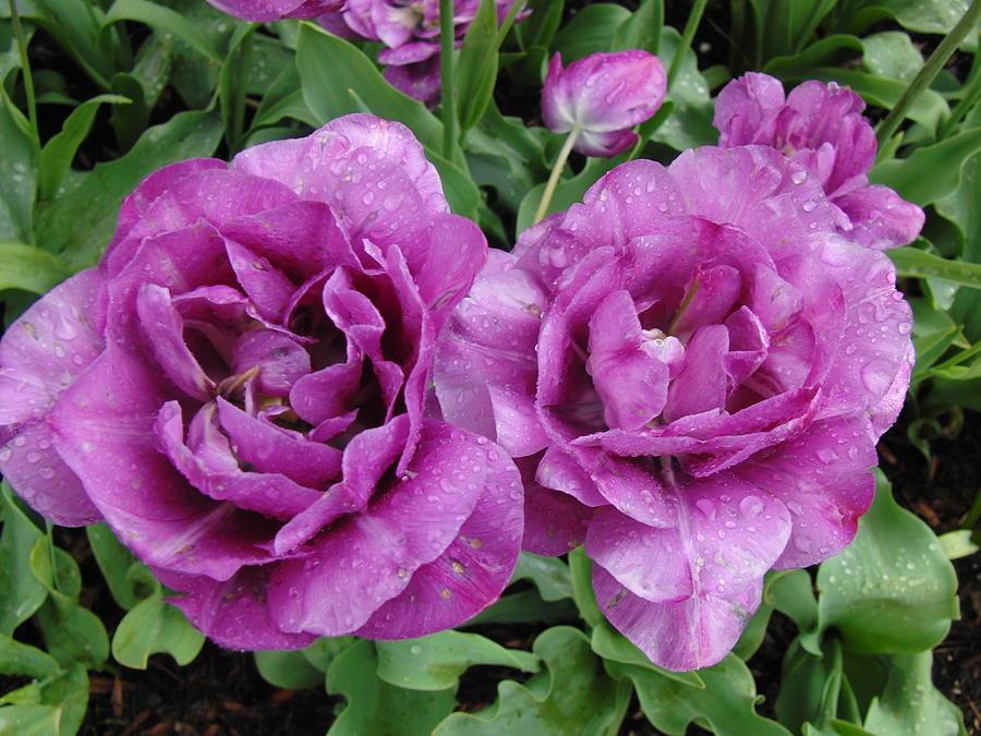 purple flowers photograph by rachel figueroa, Beautiful flower