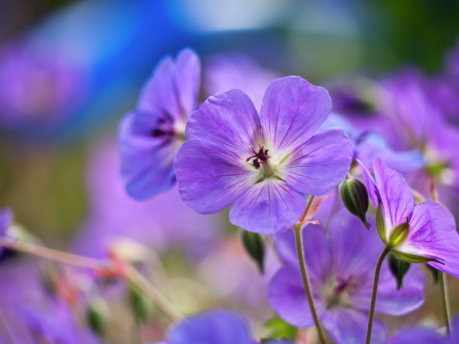 Blossoms Photograph - Purple Flowers by Rae Tucker