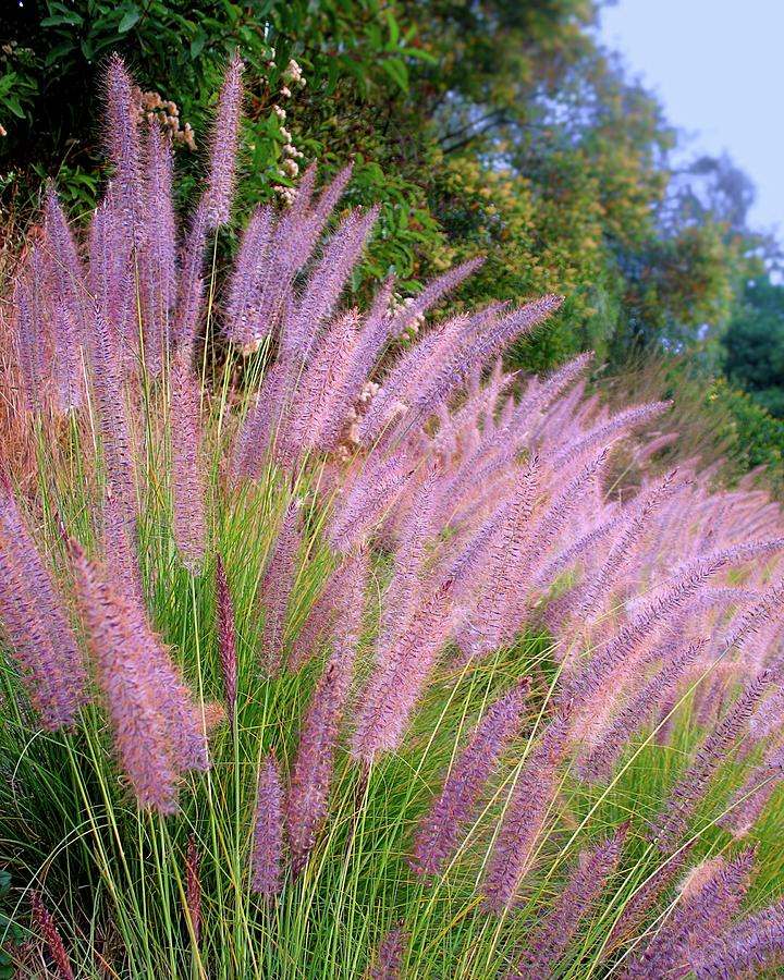Purple Fountain Grass Photograph By Kieoh Abc Photography