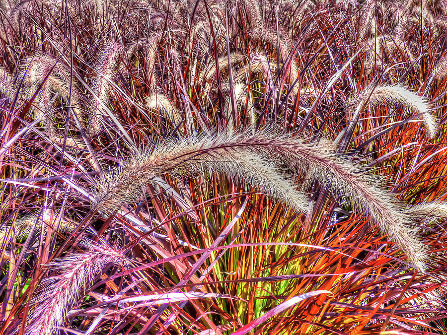 Purple Fountain Grass Photograph By Leslie Montgomery