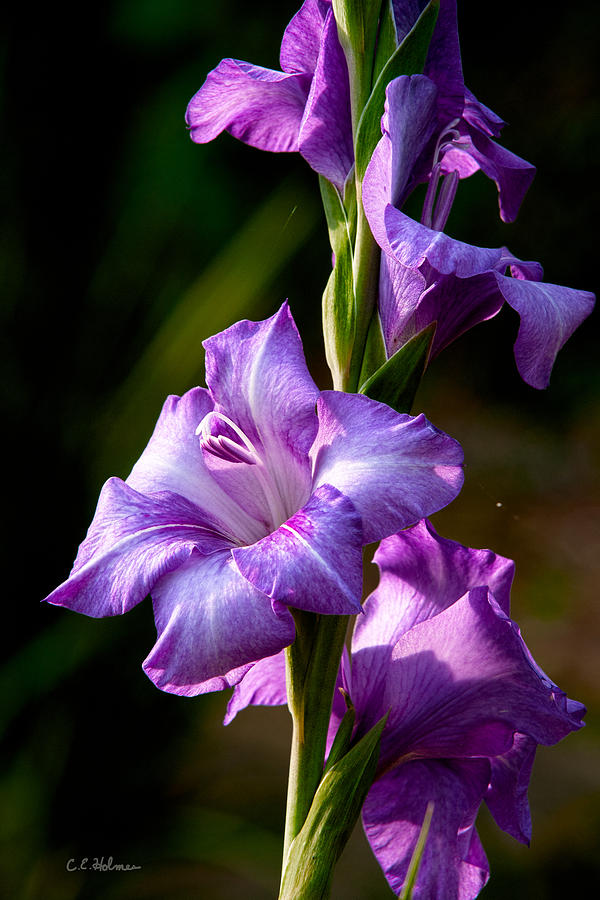 Gladiolas Photograph - Purple Glads by Christopher Holmes