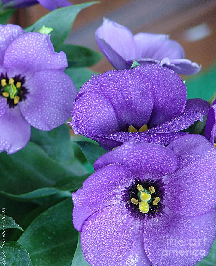 Purple Photograph - Purple Haze - Dew Drops by Leigh Karchner