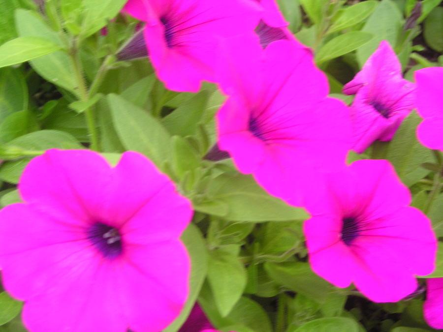 Flowers Photograph - Purple Haze by Allison Prior
