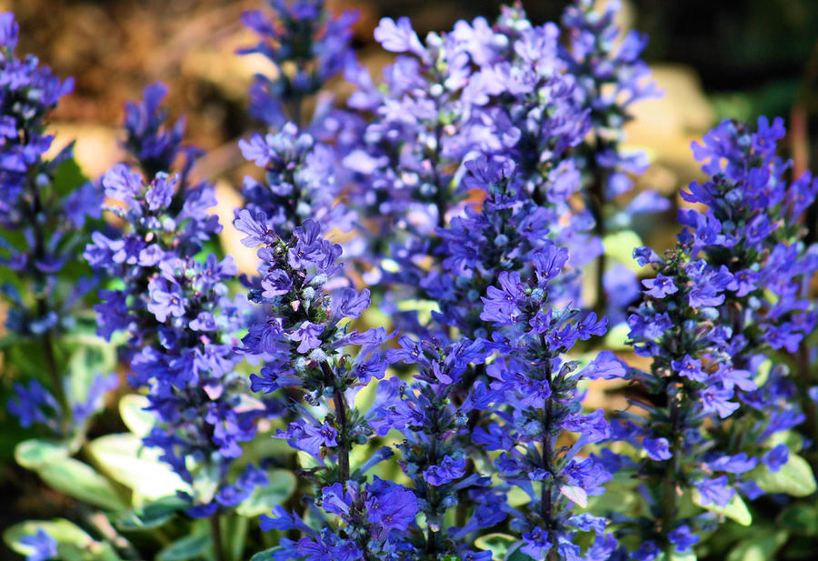 Purple Photograph - Purple Haze by Karen M Scovill