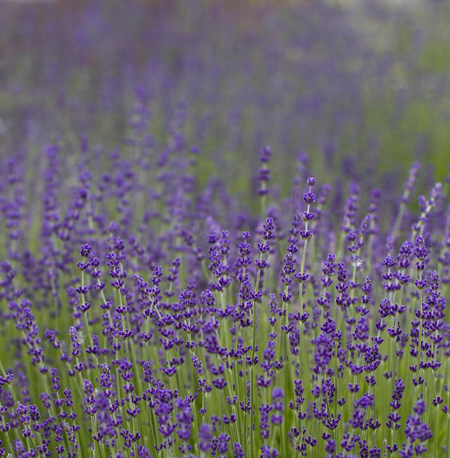 Lavender Photograph - Purple Haze by Rebecca Cozart