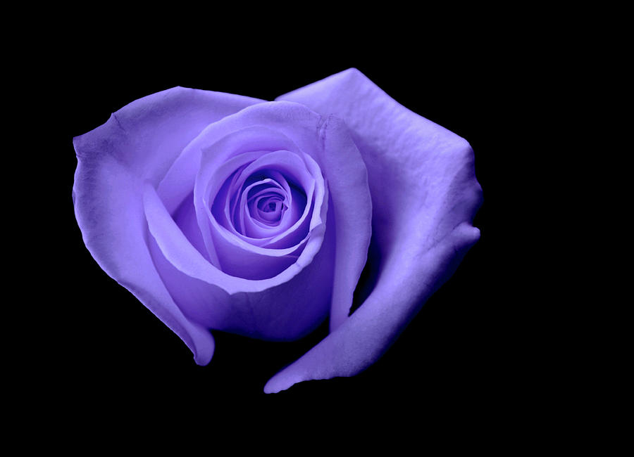 Purple Heart Shaped Rose Photograph By Glennis Siverson