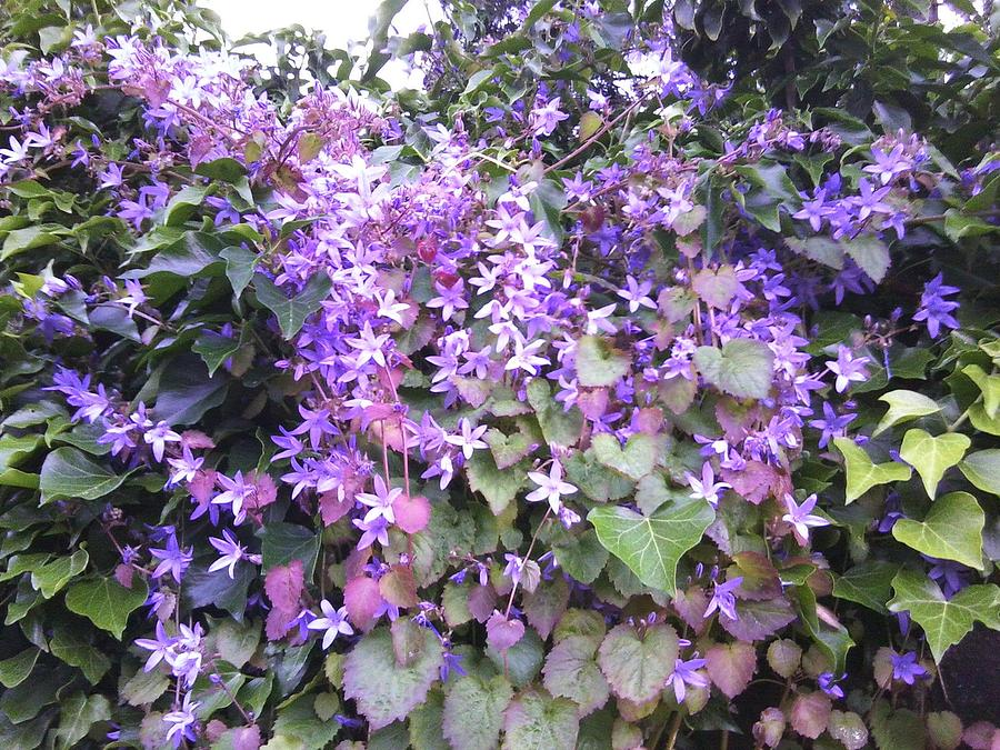 Hedge Photograph - Purple Hedge Flowers by Julia Woodman