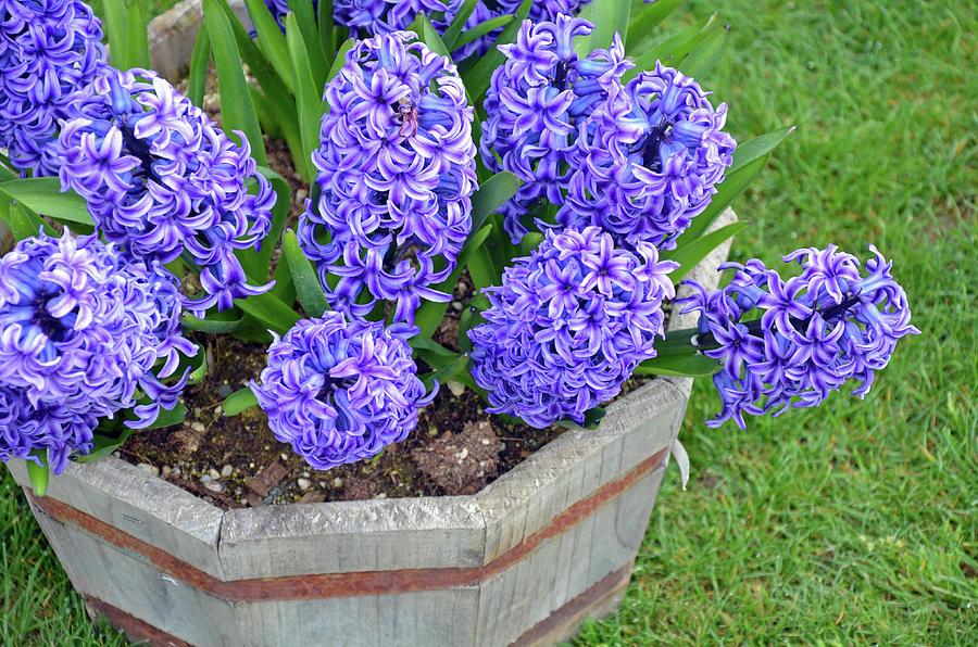 Hyacinth Photograph - Purple Hyacinth Flowers Planter by Perl Photography