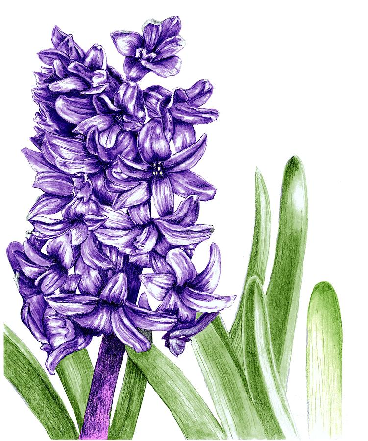 Purple Hyacinth Drawing By Stephany Elsworth