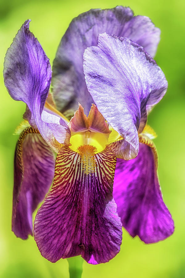 Purple Iris 2018 by Belinda Greb