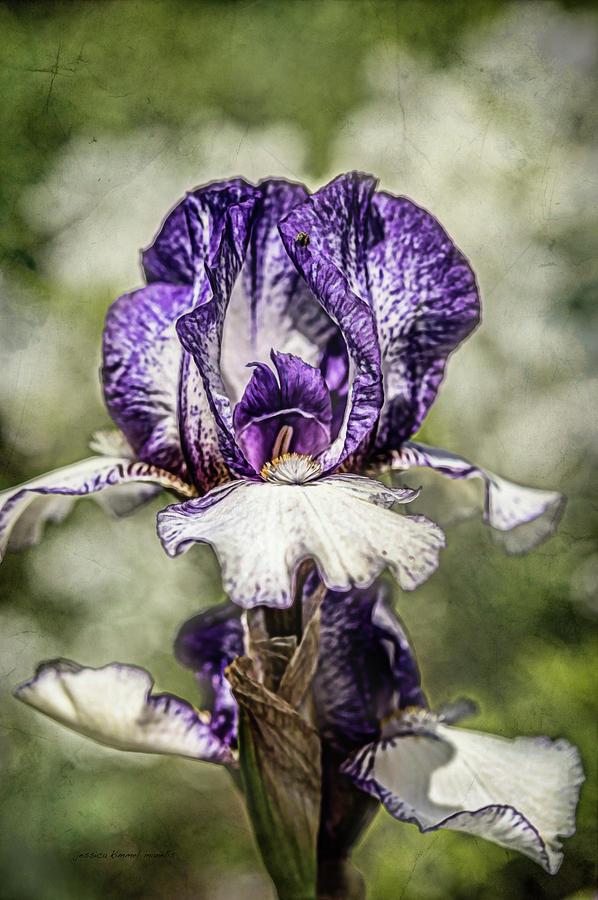 Purple Photograph - Purple Iris by Jessica Manelis