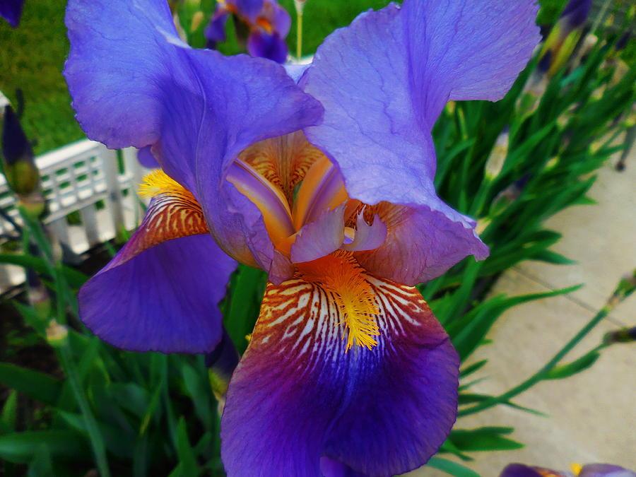 Purple Iris by Rebecca Mento