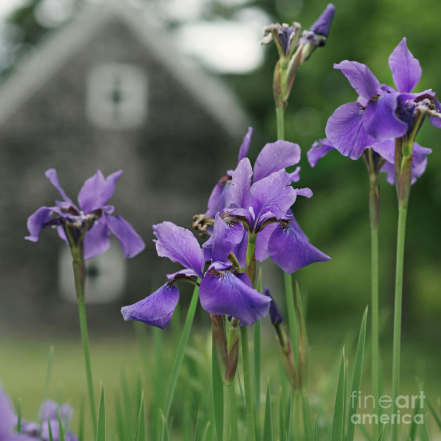 Spring Flowers Photograph - Purple Irises by Susan Garver