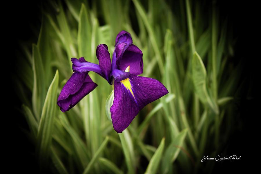 Purple Japanese Iris by Joann Copeland-Paul