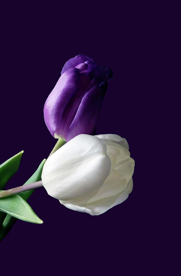 Tulip Photograph - Purple  by Johanna Hurmerinta