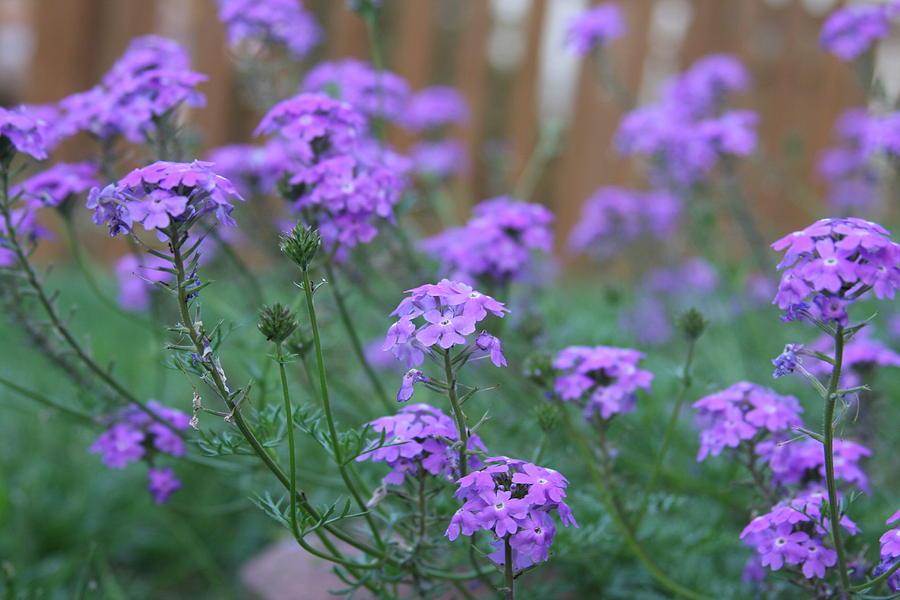 Flowers Photograph - Purple by Jonathan Kotinek