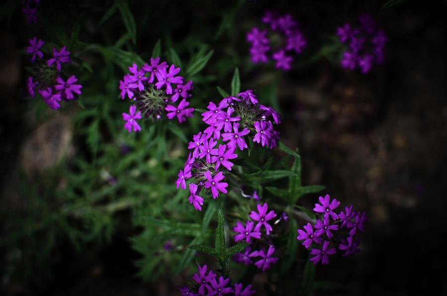 Purple Photograph - Purple Kiss by Swift Family
