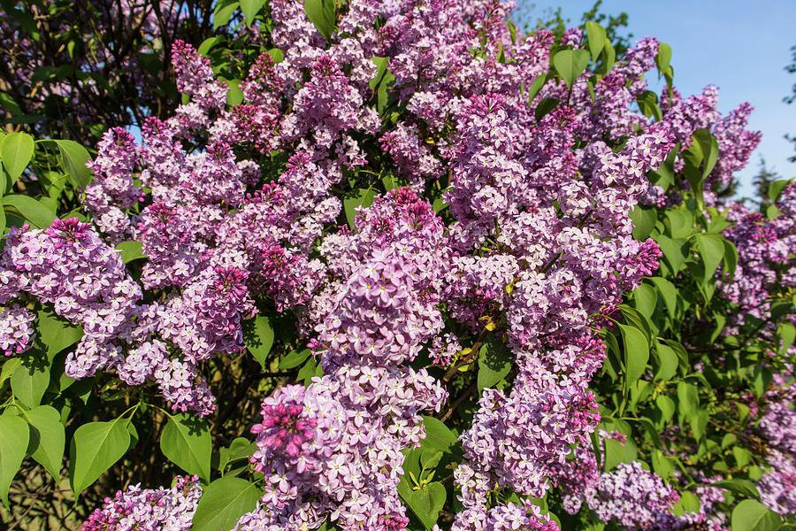 Purple Lilac Bush On Spring Sunny Day Photograph