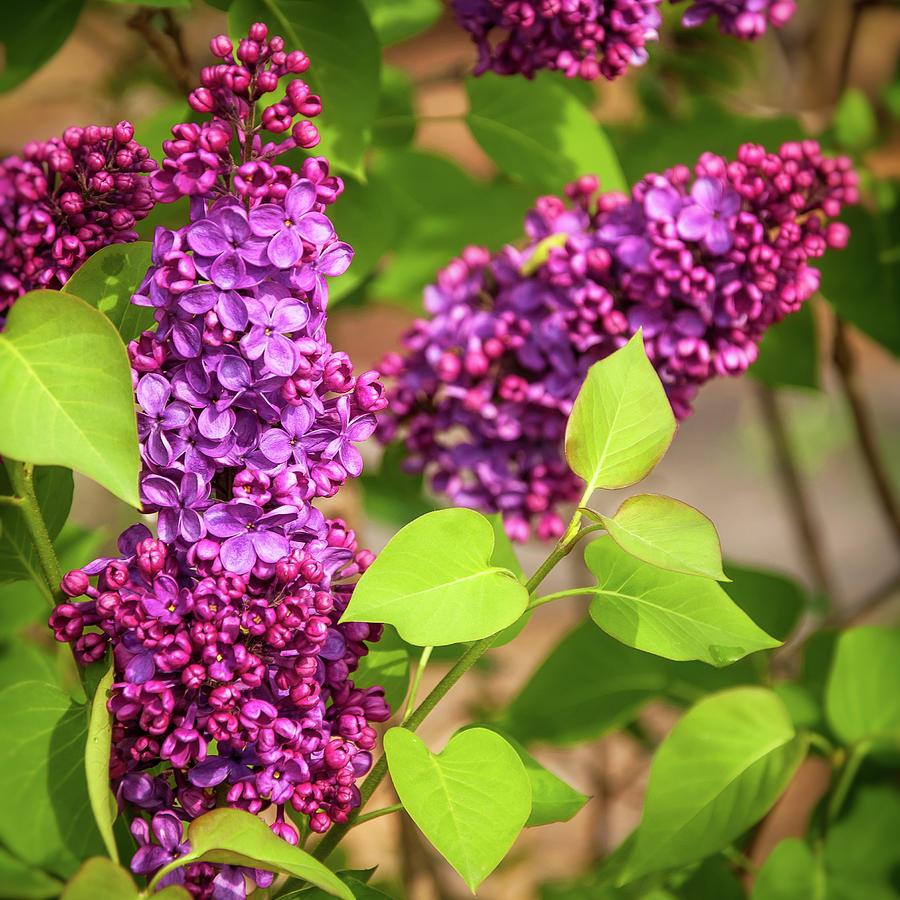 Australia Photograph - Purple Lilac by Daniela Constantinescu