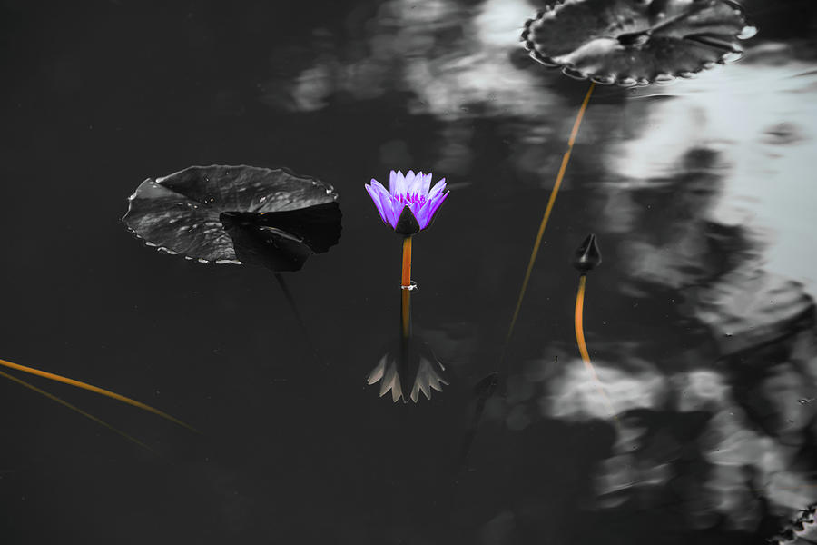 Purple Lily in Black and White by Dennis Dame