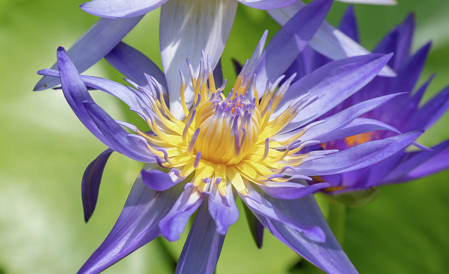 Beauty Photograph - Purple Water Lily Flowers Blooming In Pond by Merrillie Redden