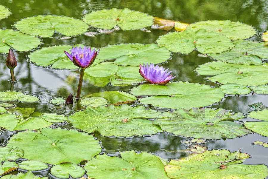 Panaewa Photograph - Purple Lotus Flowers by Mike Herdering