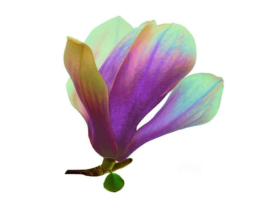Magnolia Photograph - Purple Magnolia by Roger Bester