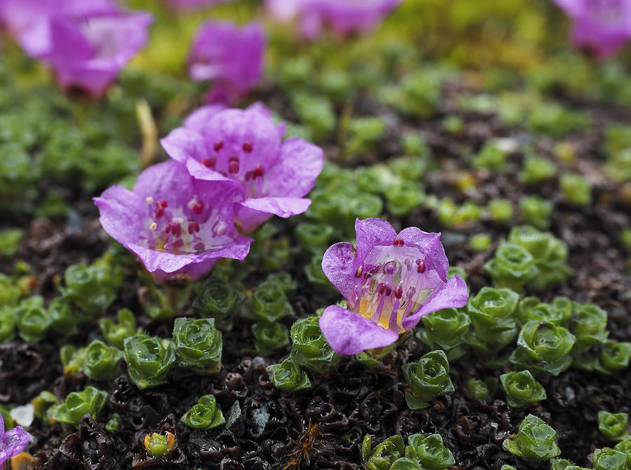 Alaska Photograph - Purple Mountain Saxifrage by Ian Johnson