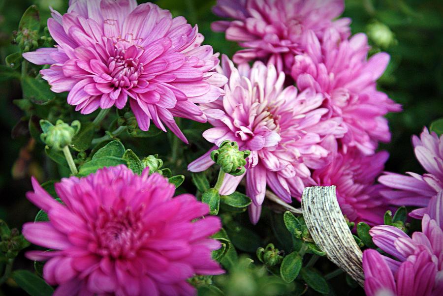 Flowers Photograph - Purple Mums by Cricket Hackmann