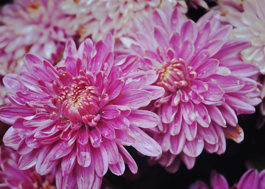 Fall Photograph - Purple Mums by JAMART Photography