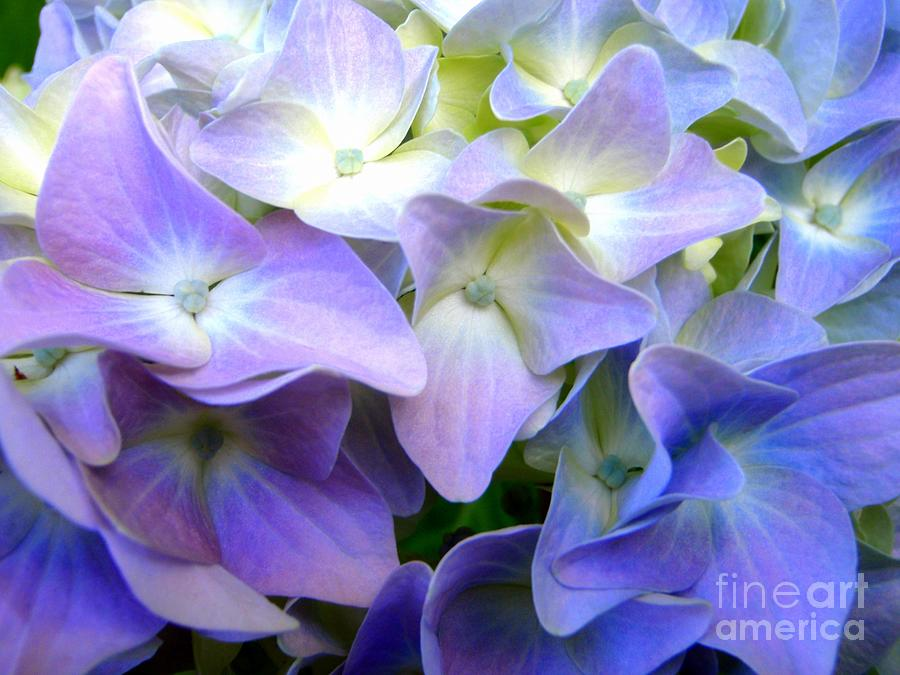 Purple or Lavender Hydrangea by Mary Deal