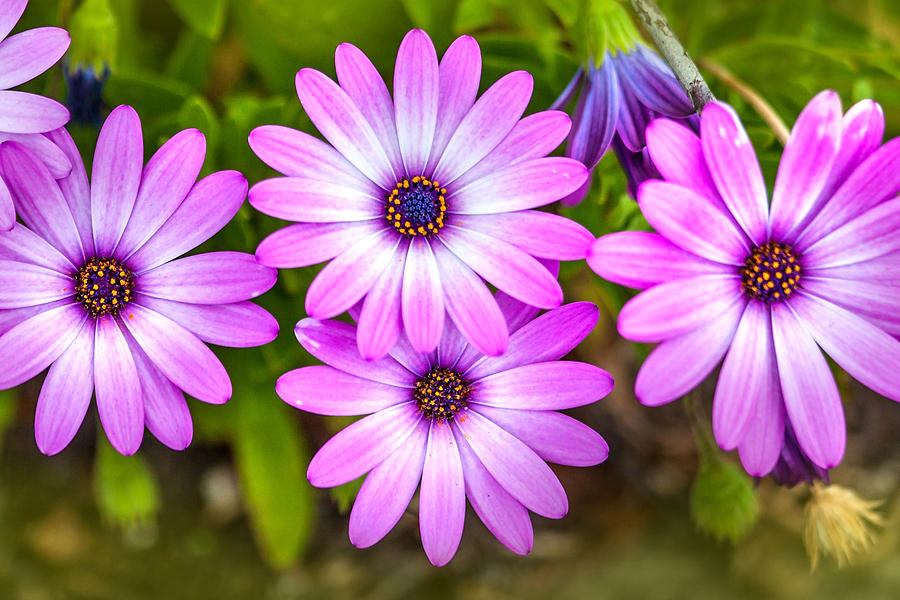 Spring Flowers Photograph - Purple Pals by Az Jackson