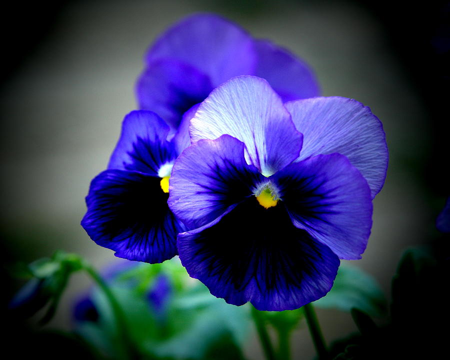 Pansy Photograph - Purple Pansy - 8x10 by B Nelson