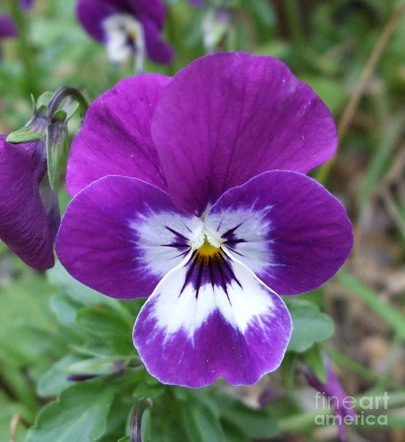 Flower Photograph - Purple Pansy by Deborah Brewer