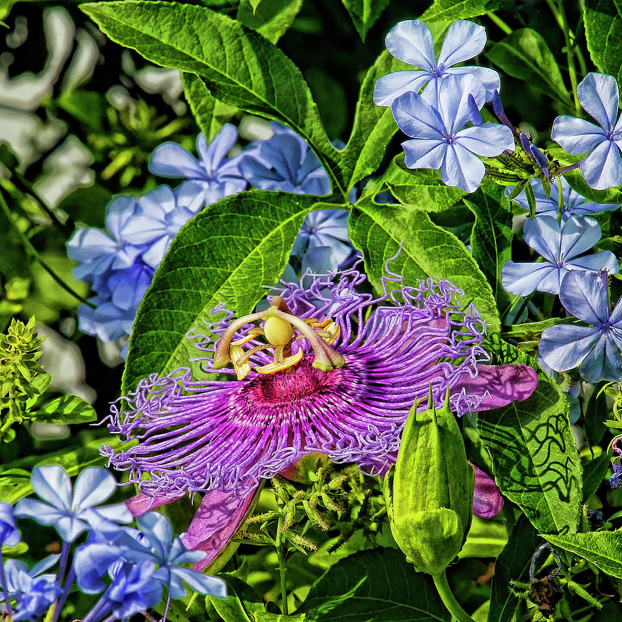 Purple Passion Flower And Plumbago Photograph By Hh Photography Of