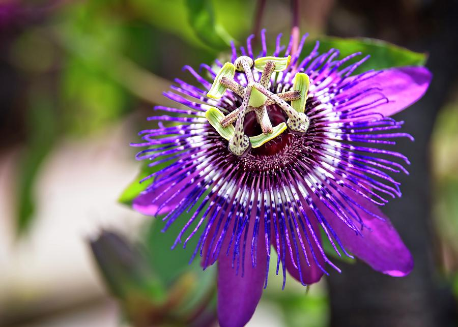 Purple Photograph - Purple Passion Flower by Carolyn Marshall